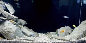 One Cich, two Cich, red Cich, blue Cichlids!